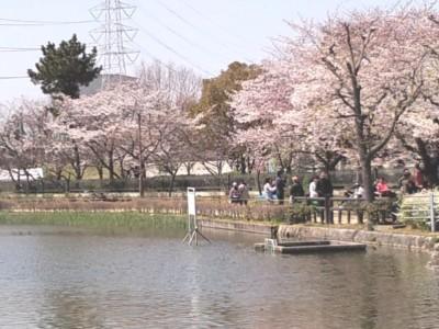 桜満開の弁天池公園20120408.jpg